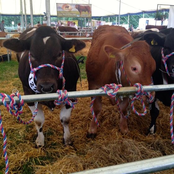 NantwichShow_Cattle_MissPond